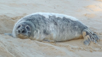 grey-seal-norfolk2
