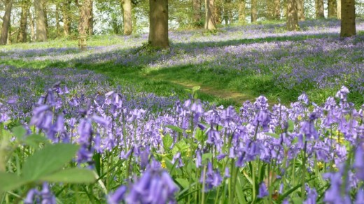 Bluebells in Blickling Park, Norfolk