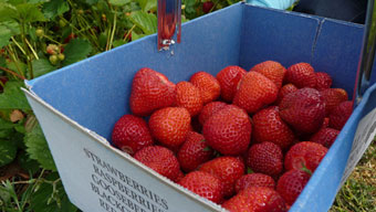 Pick Your Own Strawberries - Wiveton Hall