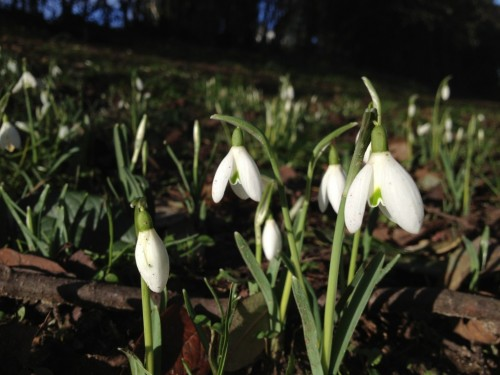 First snowdrops of 2013 at Chapelfield Gardens, Norwich